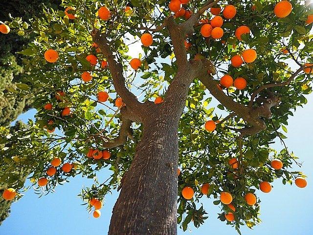 laranja, árvore